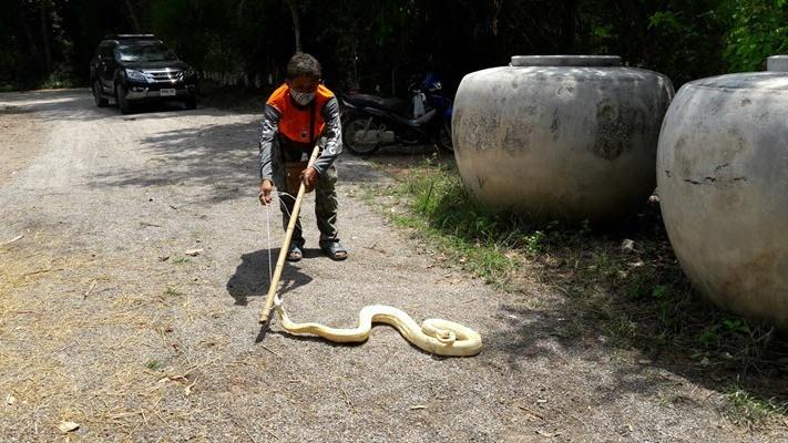 งูหลามทอง