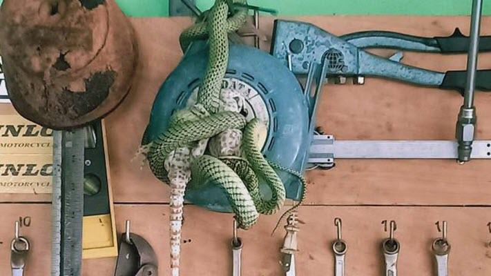 งูเขียวกินตุ๊กแก